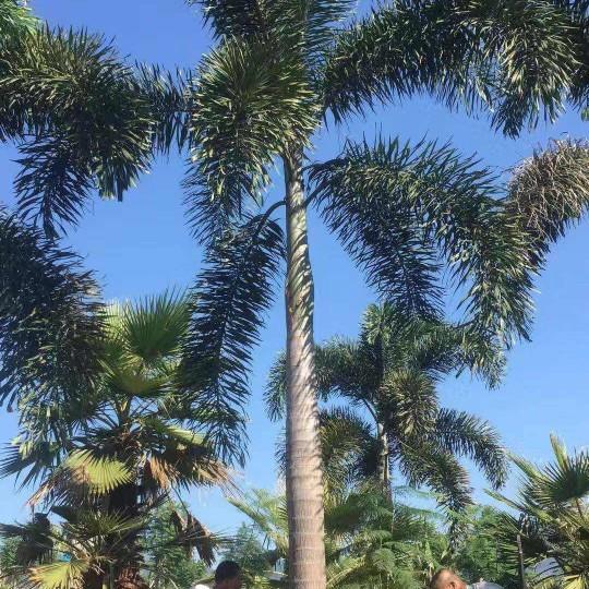 9米高廣州狐尾椰子基地批發價 狐尾椰子基地在哪