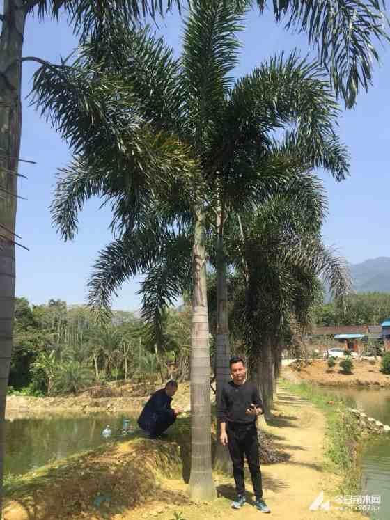 6米高狐尾椰子基地批发价 直销全国的狐尾椰子基地
