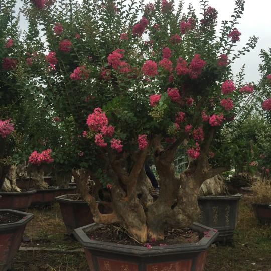 3米高福建紫薇树桩价格 紫薇盆景基地直销