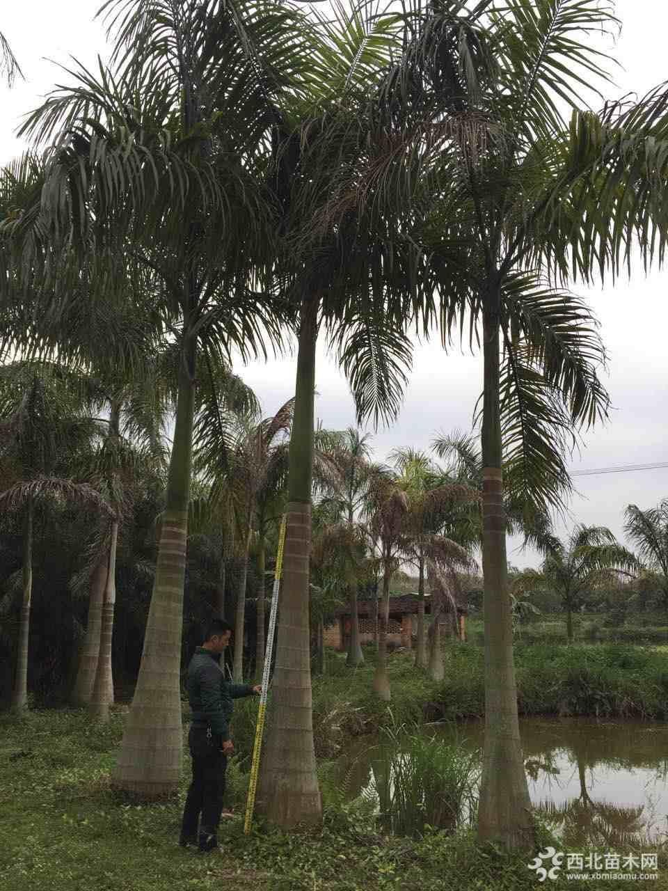 7米高大王椰子价格 大王椰子基地直销