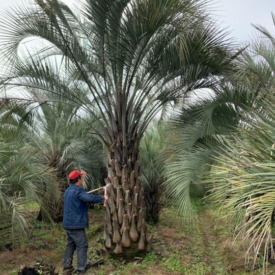5米高江蘇布迪椰子批發價 江蘇地區布迪椰子報價