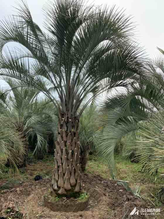 5米高江苏布迪椰子批发价 江苏地区布迪椰子报价