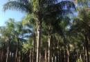 8米高福建皇后葵(金山葵)价格 皇后葵基地在哪