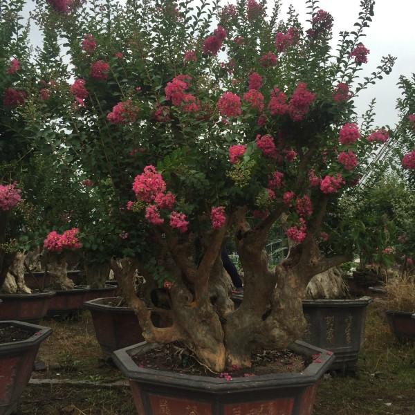 3米高紫薇树桩价格 紫薇树桩基地直销