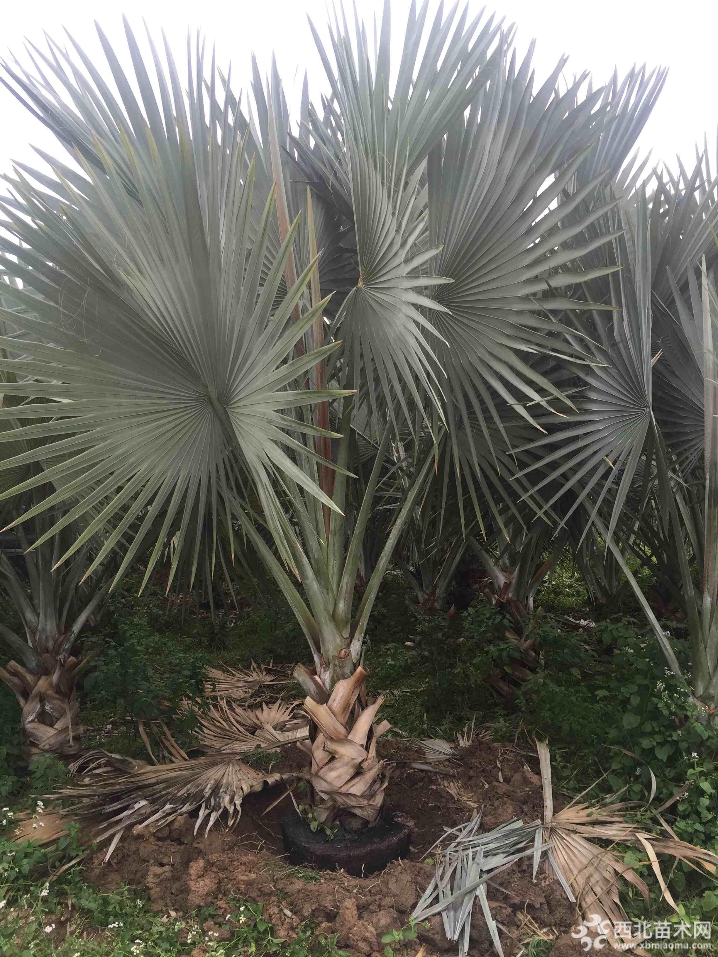 4米高霸王棕基地直銷 福建霸王棕種植基地
