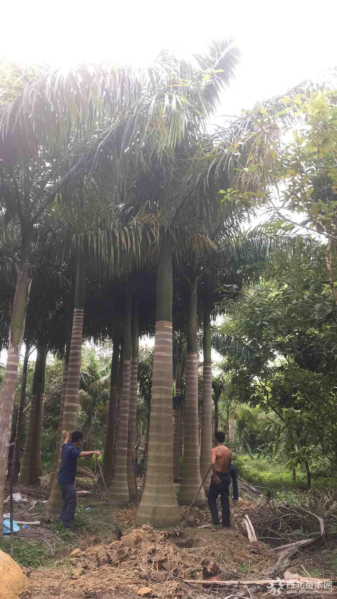 8米高福建大王椰子价格行情 福建大王椰子基地