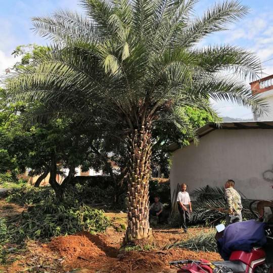 4米高中東海棗價格 哪里有大型中東海棗基地