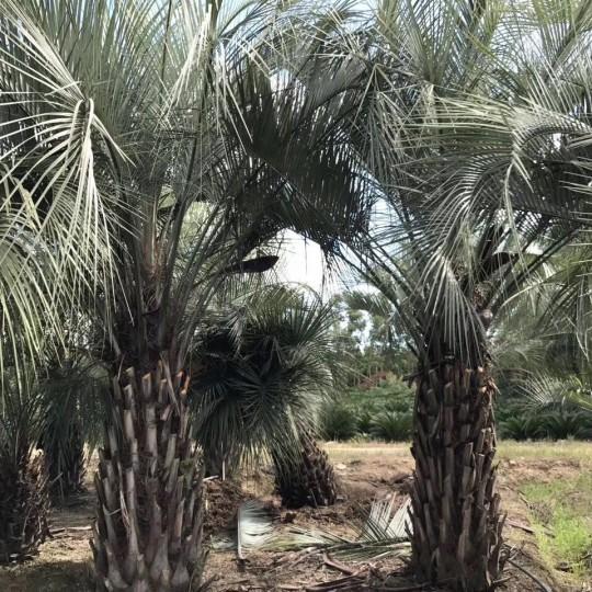 5米高河南布迪椰子價格 北方布迪椰子基地直銷