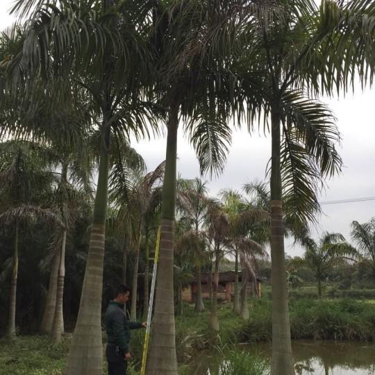 8米高福建大王椰子價格行情 福建大王椰子基地