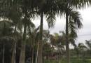 8米高福建大王椰子价格?#26143;?福建大王椰子基地
