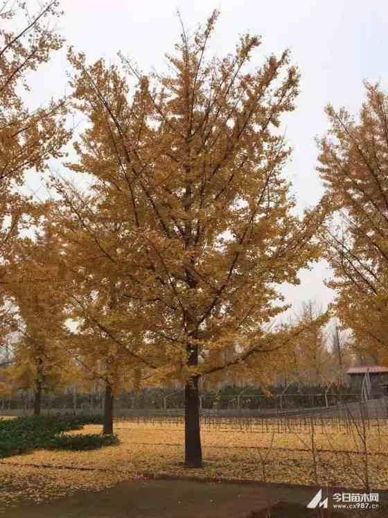 米径3-30公分银杏 18公分银杏树价格