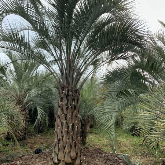 4.5米高布迪椰子基地批發價 布迪椰子的最新市場行情