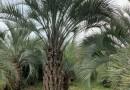 4.5米高布迪椰子基地批发价 布迪椰子的市场行情