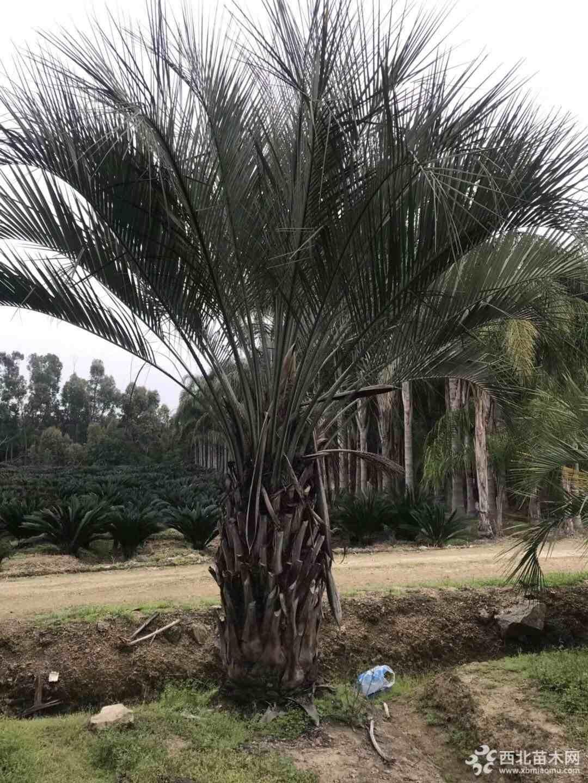 4米高福建布迪椰子价格 福建布迪椰子基地直销