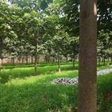 最新泡桐树价格 泡桐树报价表