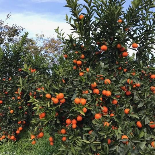 基地供應世紀紅柑橘苗 世紀紅適合種植哪里