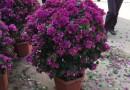 红火箭紫薇
