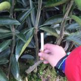 特早柑橘大分苗适合在哪里种植