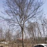 米徑3-35公分榔榆報價 榔榆產地