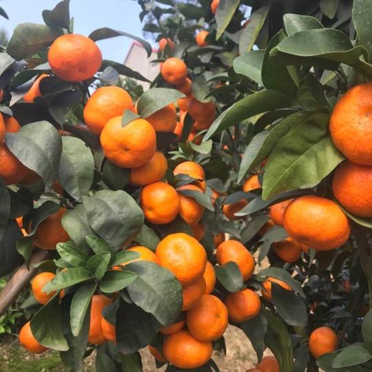 早熟砂糖橘柑橘苗苗木基地