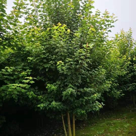 4米高丛生美国红枫 丛生美国红枫基地批发