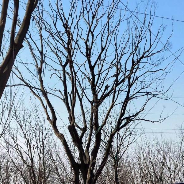 安徽朴树基地直销 朴树多少钱一棵 朴树种植