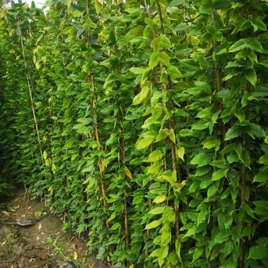 1.5米/2米/2.5米/3米常绿油麻藤价格 常绿油麻藤袋苗批发