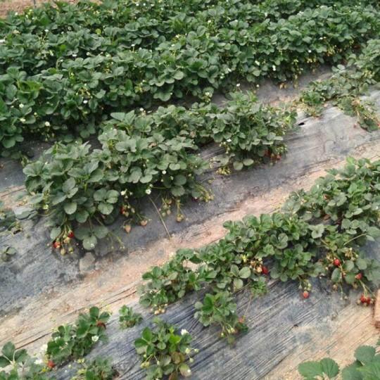 山东红颜草莓苗基地批发价  红颜草莓价格