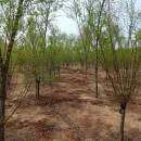 8公分红梅树苗价格 江苏红梅树苗多少钱一棵