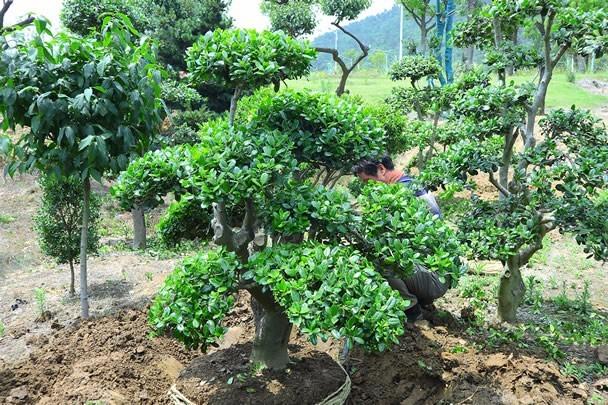 苏州造型无刺枸骨培育基地 景观造型无刺构骨树苗木批发