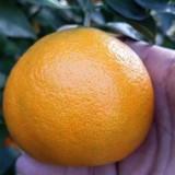 明日见柑橘苗价格 基地直供