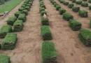 东莞绿化草坪台湾草皮草卷出售