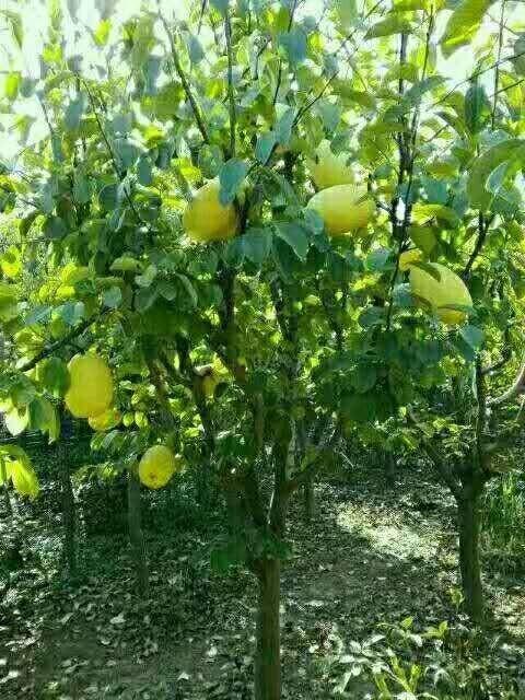 5公分木瓜海棠價格 江蘇木瓜海棠哪里賣