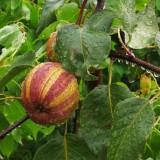 1米高早酥红梨苗多少钱一棵