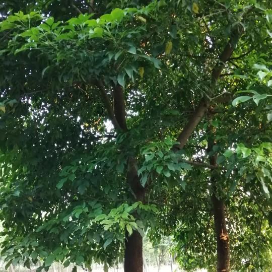 24公分秋楓價格 量大從優 基地直銷
