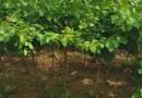 目前1米高杏樹苗多少錢一棵
