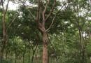 江蘇12公分烏桕樹多少錢一棵