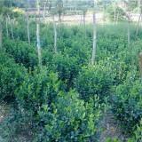 80公分大叶黄杨球价格 江苏大叶黄杨球种植基地