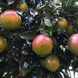 广东红花油茶树苗价格  大果红花油茶树苗多少钱一棵