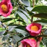 30公分高红花油茶苗价格  红花油茶苗基地