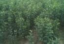 3公分富士苹果苗价格 富士苹果苗多少钱一棵
