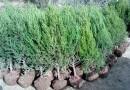 沭陽檜柏批發價格 檜柏種植基地
