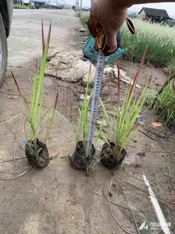 观赏草 日本血草 血草袋苗 桂丽园艺大量批发供应