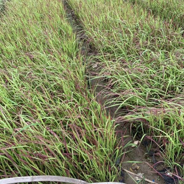 日本血草 血草袋苗 桂丽园艺大量观赏草批发供应