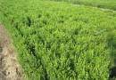 40公分高瓜子黃楊價格,瓜子黃楊基地直銷