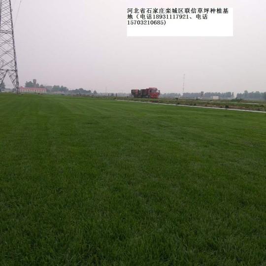 井陘便宜草坪 草皮早熟禾高羊茅價格