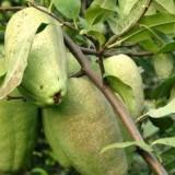 木瓜苗种植基地   3公分木瓜苗价格