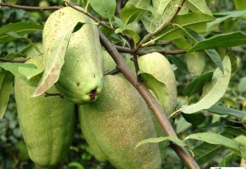 木瓜苗種植基地   3公分木瓜苗價格