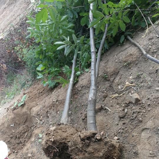 5公分板栗樹批發報價 山東板栗樹種植基地