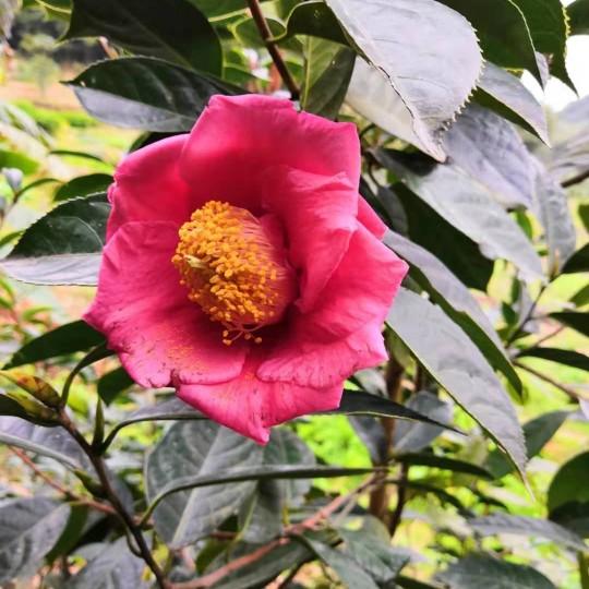 红花油茶树营养袋价格 60公分大果红花油茶营养袋苗